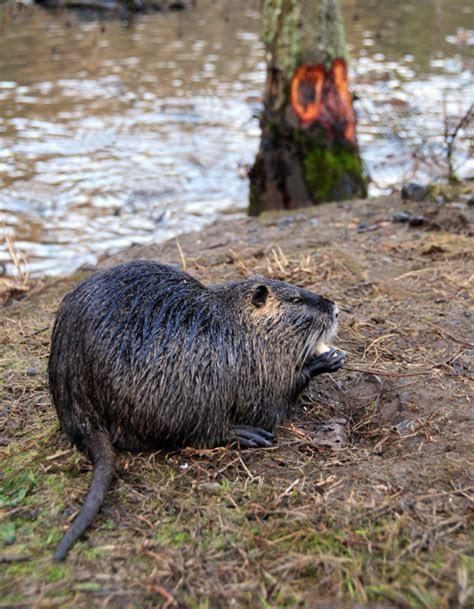 Swamp Rat!   doublebhomestead