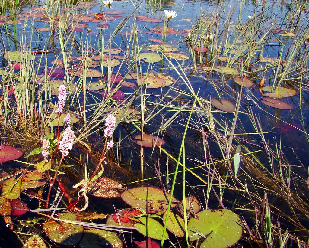 DSC08851 Waterlilies