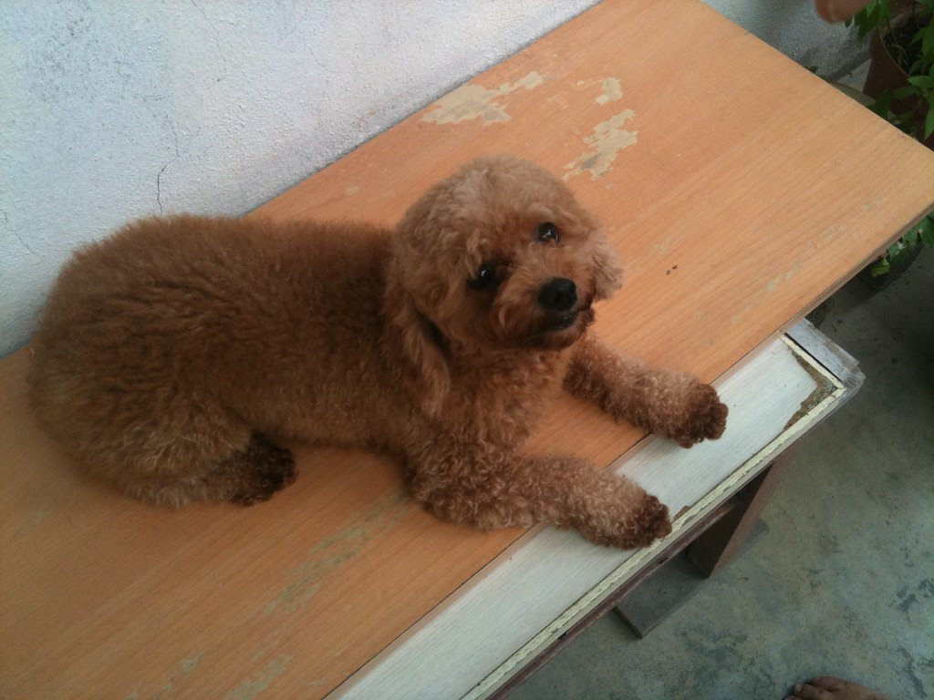 my toy poodle