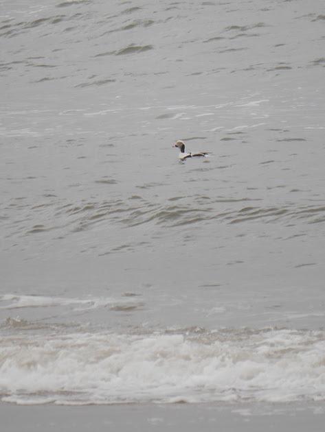 Ed Gaillard: birds &emdash; Long-Tailed Duck, Fort Tilden