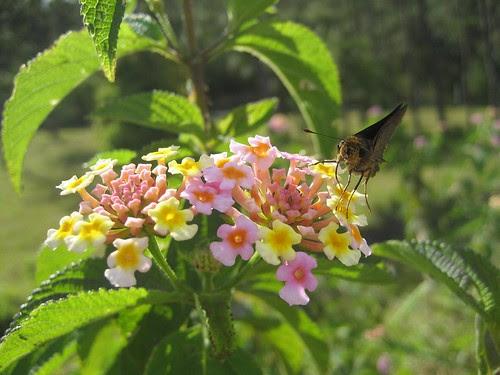Mauritius flower