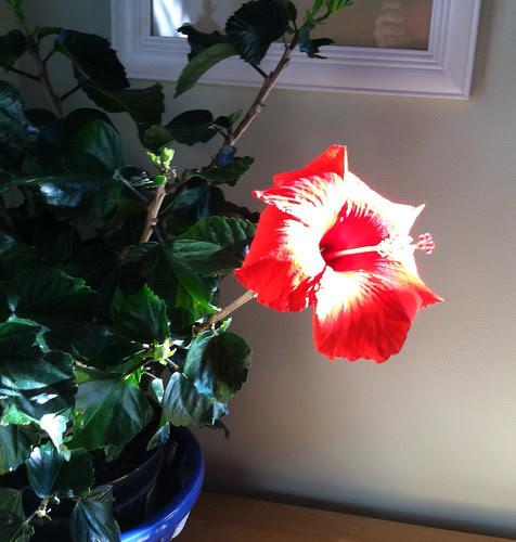 hibiscus indoors