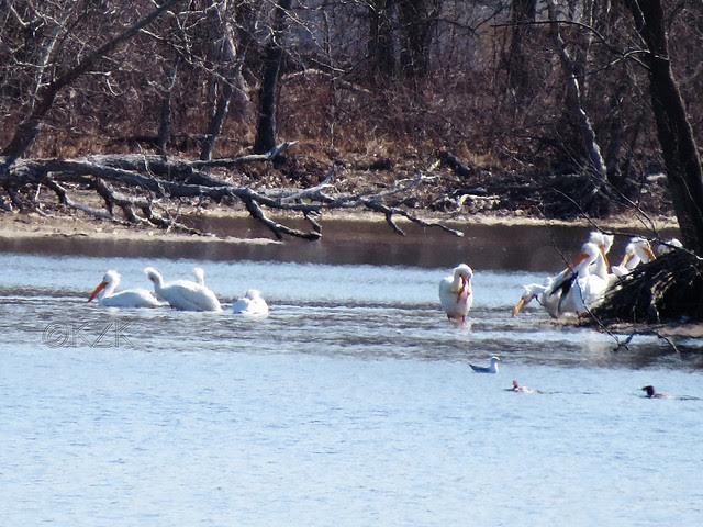 IMG_0597cps Pelicans, gull, Mergansers