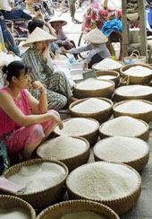 Giá gạo thơm từ loại lúa 4900 đang bị giảm mạnh