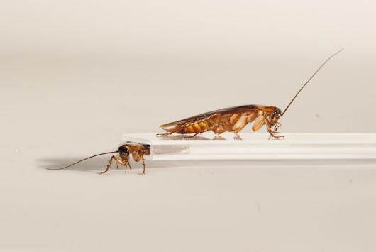 If you can't squish 'em, join 'em: Scientists build cockroach robot