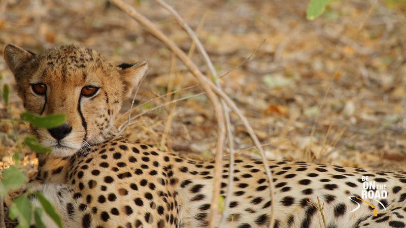 A cheetah resting in the shade at Samburu