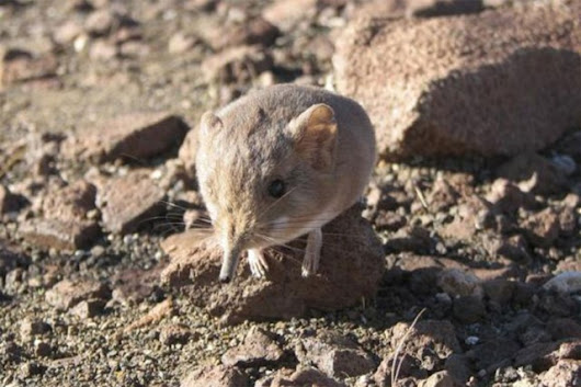 Tiny elephant-like mammal discovered in Namib Desert
