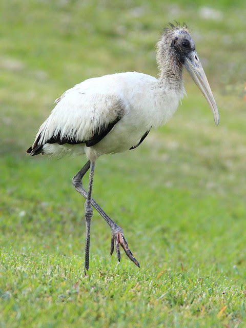 Wood Stork immature 3-20120109