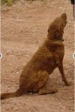 Jack, a Chesapeake Bay retriever