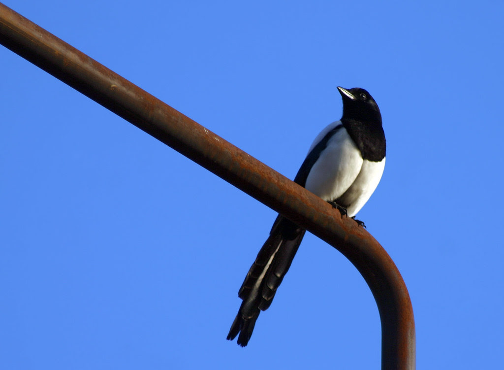 Magpie on the lookout