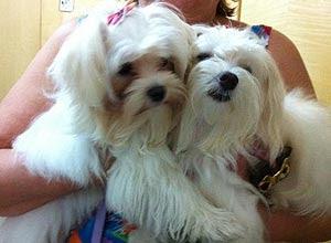 Nicole e Taty, da raça maltês, que foram levadas por assaltantes no último dia 24