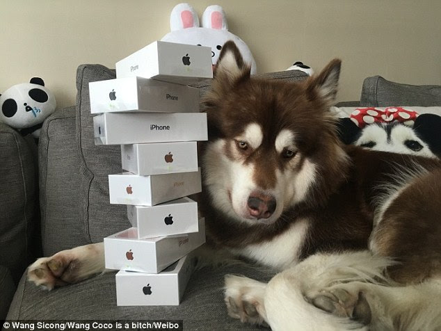 World's most pampered pooch? Wang Sicong, the son of China's richest man, has apparently bought her pet dog Coco (pictured) eight iPhone 7 handsets