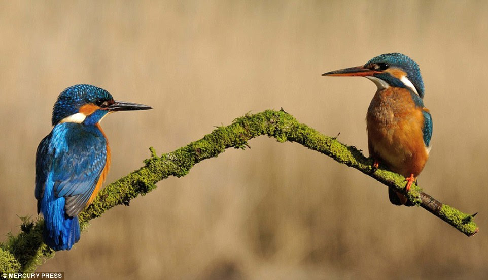Female kingfishers sat on a perch around four feet above the water and would only dive three or four times a day, Mr McFadyen said
