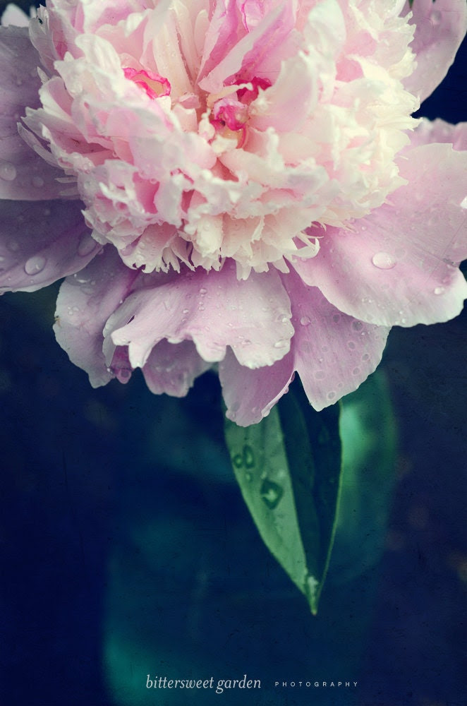 Peony No. 8 - Pink Flower Still Life Photograph - Nature Photography Garden Decor Fine Art Pink Peony Botanical Dark Blue Green- 8x12 - BittersweetGarden