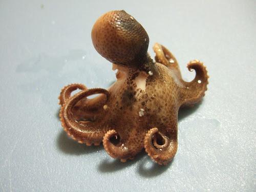 octopus...yum, yum, yum