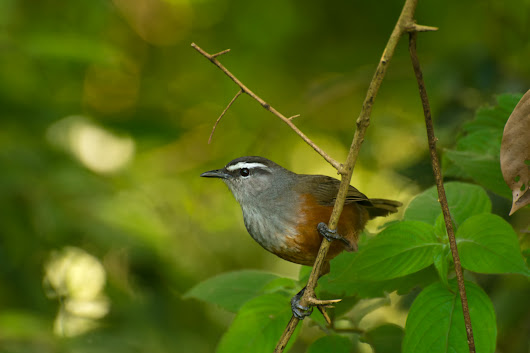 Revisionist history: rewriting the story of Indian birds - BMC Series blog