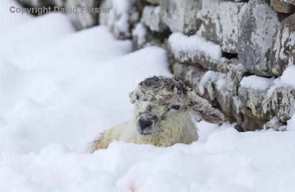 06D-2631 Newborn Lamb in Snow Teesdale County Durham UK