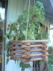 Hanging basket cherry tomatoes