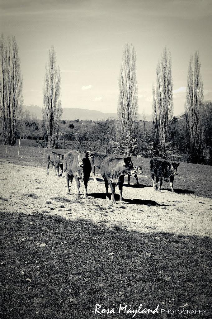 Cows 2 6 bis
