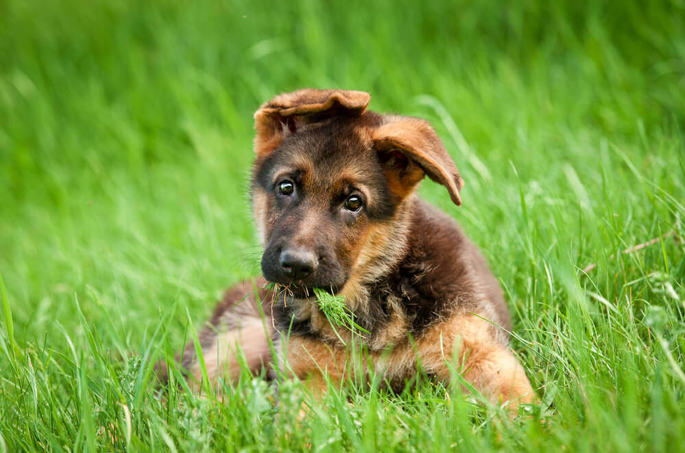 View Ad: German Shepherd Dog Puppy for Sale, Singapore
