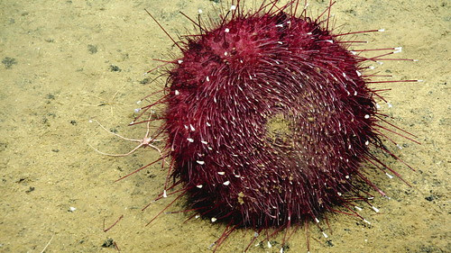Sea Urchin underbelly