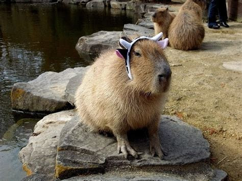 Latest Funny Pictures: Funny Capybara