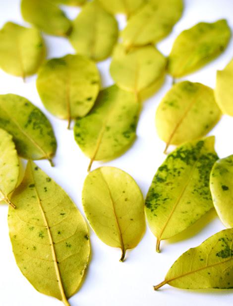 fogliedi alloro in alcol