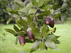 Mature acorns on a tree in Corsica