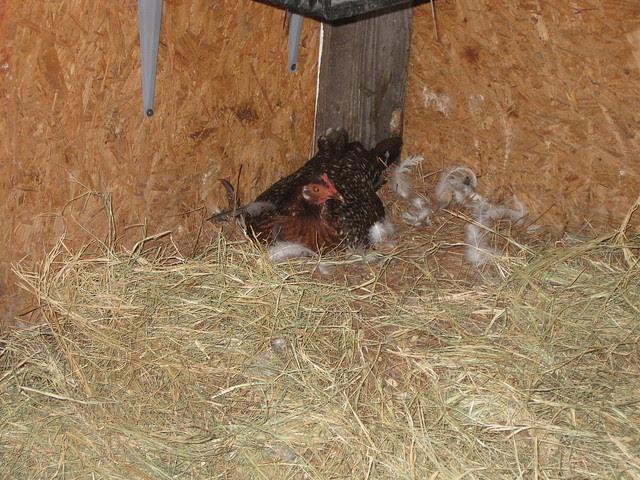 Broodie Banty sitting on duck eggs  :)