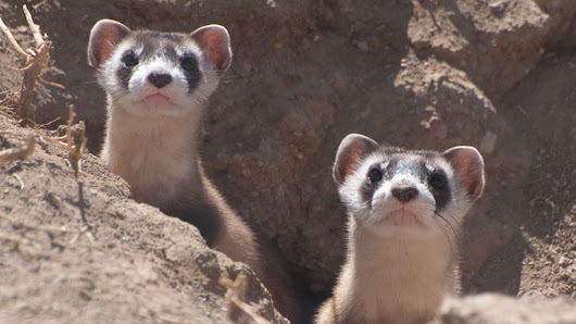 US government plans to use drones to fire vaccine-laced M&Ms near endangered ferrets