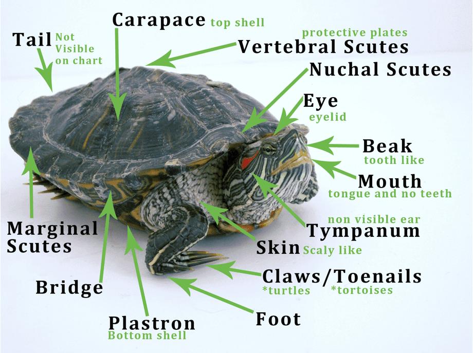 turtle anatomy
