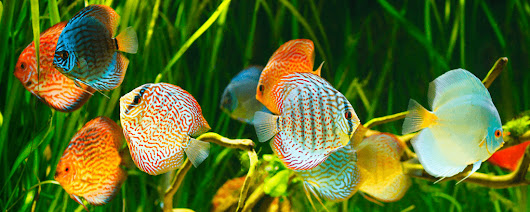 Wild Discus From The Amazon Archives - Wattley Discus