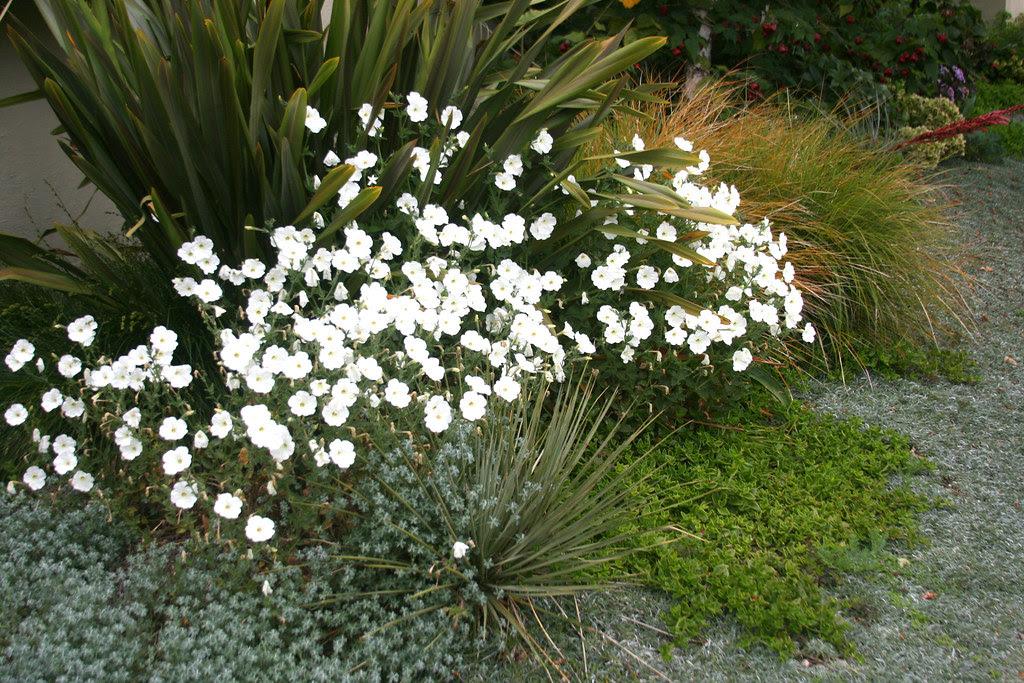 petunia axillaris form