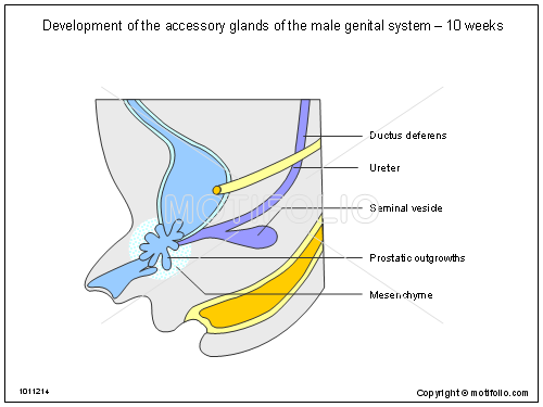 Development of the accessory glands of the male genital ...