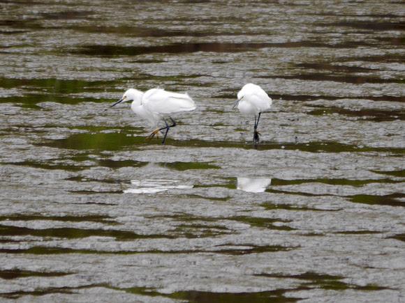 Ed Gaillard: birds &emdash; Snowy Egrets, Spuyten Duyvil Creek