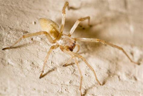 Yellow Sac Spider   Portland Pest Guard