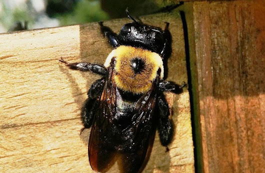 Pittsburgh Carpenter Bee Control & Removal Service | Pestco