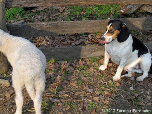 Lamb kissing Bert 5 - FarmgirlFare.com