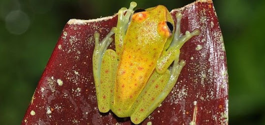 World's first fluorescent frog discovered - Unexplained Mysteries