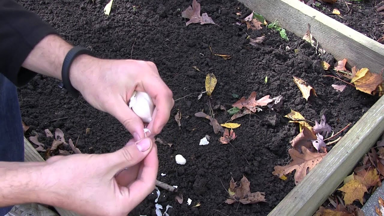 How to Grow Garlic In Spring or Fall - Complete Growing ...