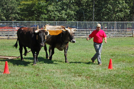 4brown-oxen-approach-cone.jpg