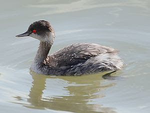 Black-necked Grebe, Jan. 2007, Ibaraki JAPAN 日...