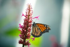 Monarch Butterfly Pink Flower