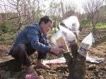 Anh Nguyễn Văn Minh đang chăm chút gốc đào rừng để đầu tư cho các vụ tiếp theo
