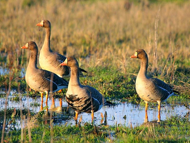 IMG_9008 White-Fronted Geese, Sacramento National Wildlife Refuge