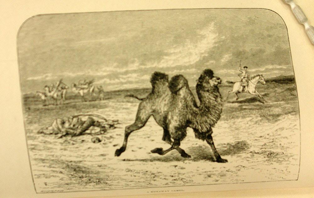 A Runaway Camel
