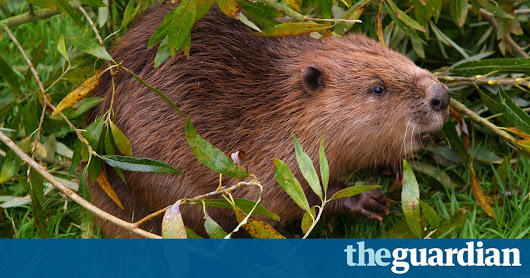 UK to bring back beavers in first government flood reduction scheme of its kind | Environment | The Guardian