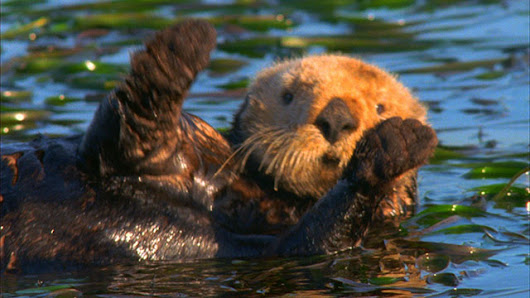 Sea Otters Video Stock Footage - Nature Stock Footage