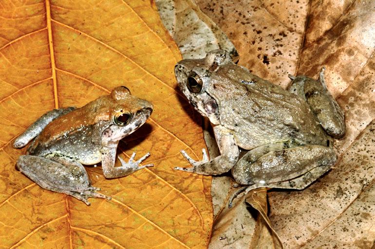 presas do sexo masculino e feminino frog