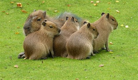 Capybara Facts: Animals of South America   WorldAtlas.com